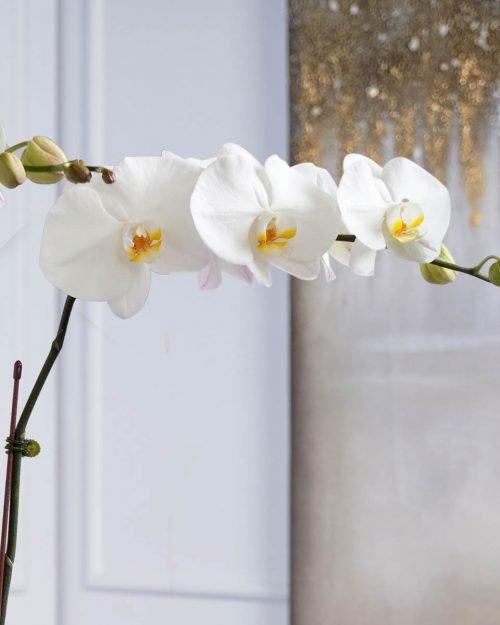 White Phalaenopsis Duo